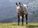 Старопланински кон