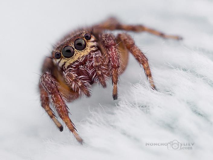 Скачащ паяк, Гърция