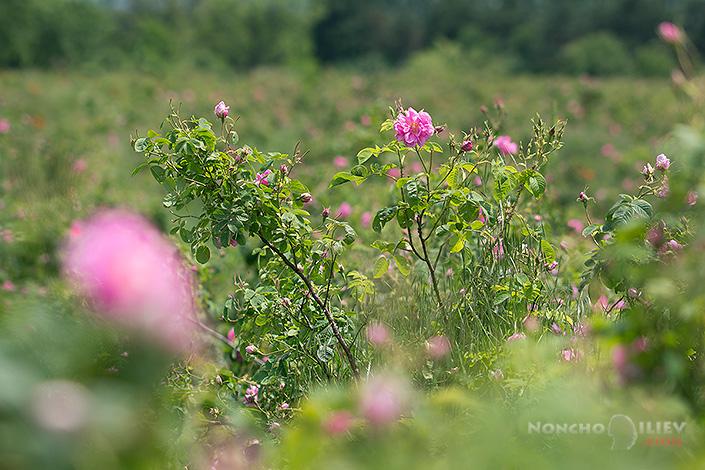Маслодайна роза / Rosa  Damascena фотография