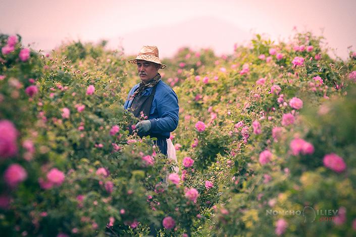 Розоберач / Rose picker фотография