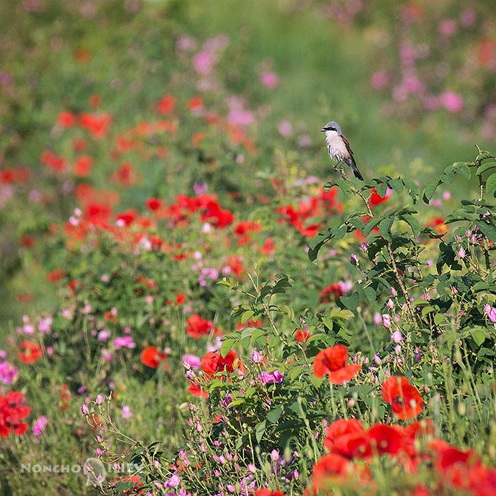 Червеногърба сврачка в полето / Red-backed shrike in the field фотография