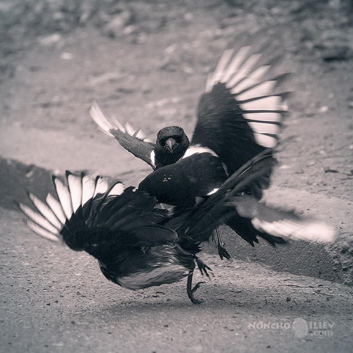 птици в битка