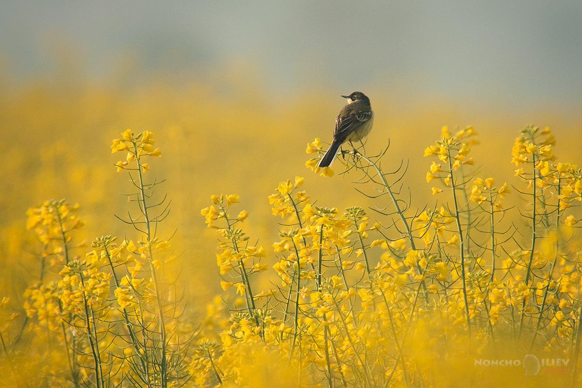 рапица изгрев поле жълта стърчиопашка птица