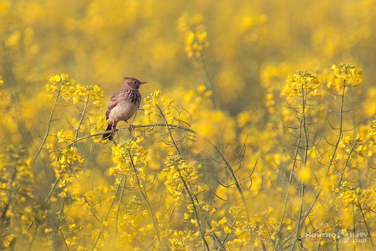рапица изгрев поле чучулига птица