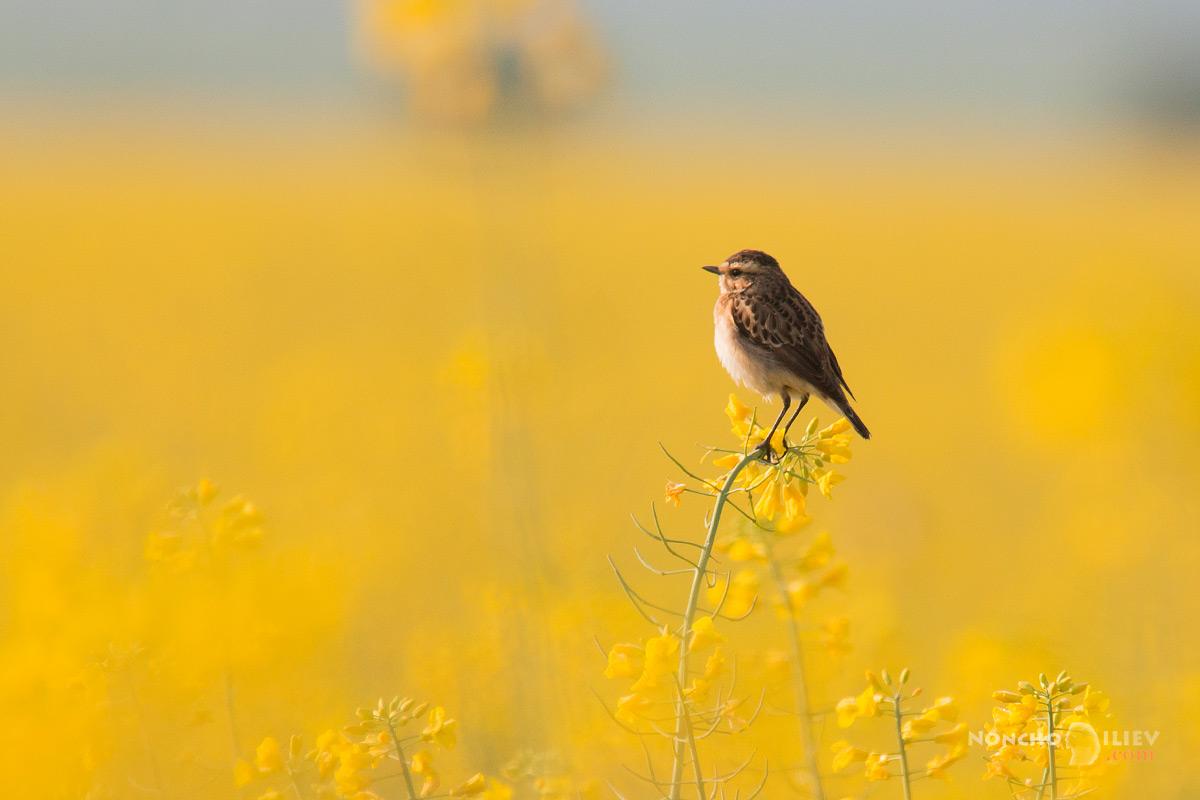 рапица изгрев поле ръждивогушо ливадарче птица