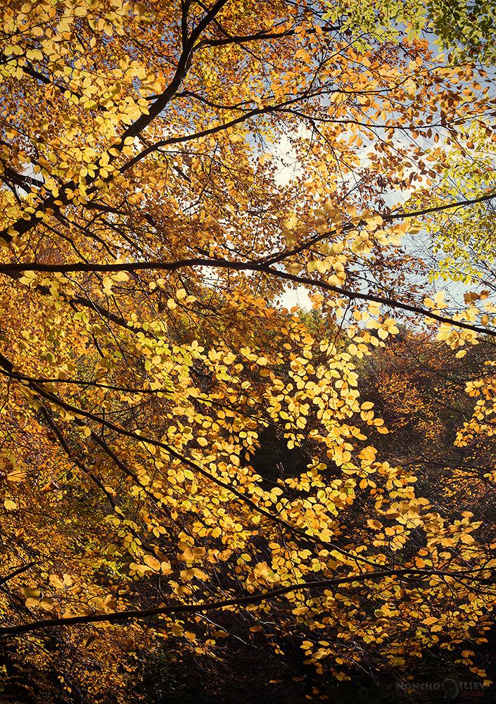 златна гора