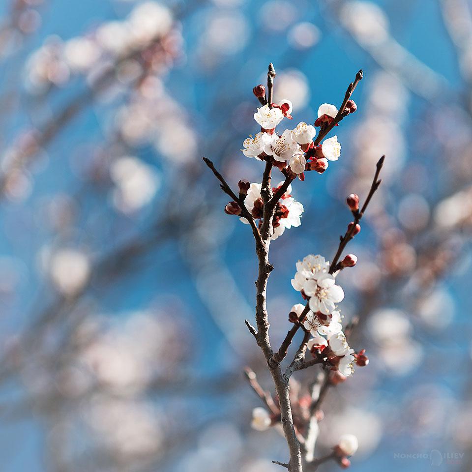 март пролет цвят бадем