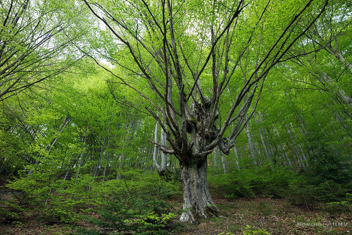 пролет дърво