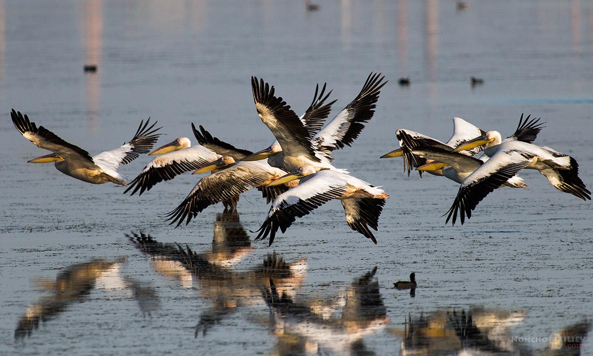 пеликани бургас