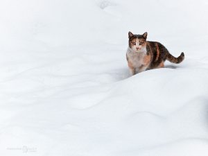 януарска зимна котка