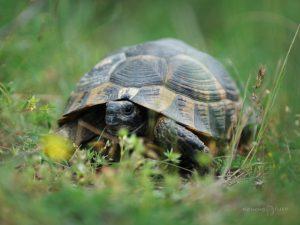 костенурка
